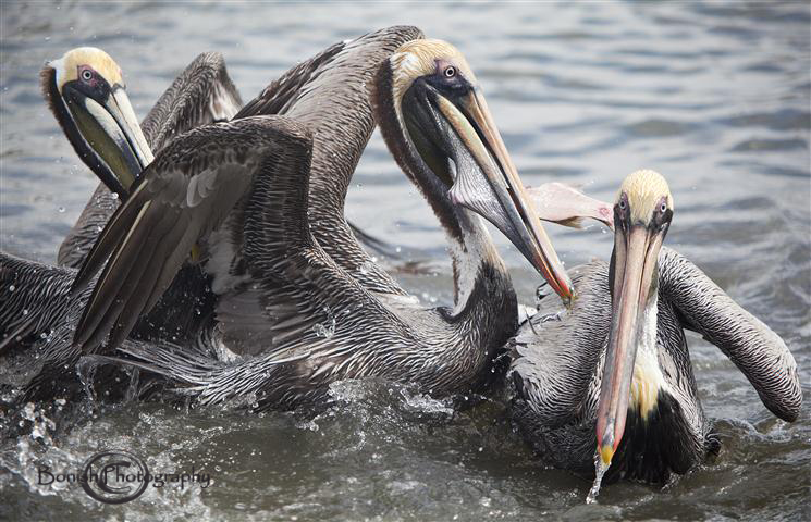 the habitat and feeding of the brown pelicans The brown pelican is a comically elegant habitat brown pelicans live year-round in estuaries and pelicans usually feed above estuaries and shallow.
