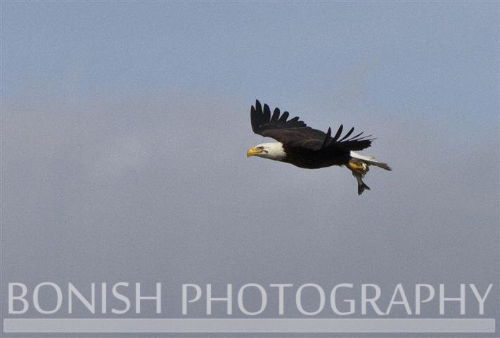 IMAGE: http://www.everymilesamemory.com/Images%208/Flying_Eagle.JPG